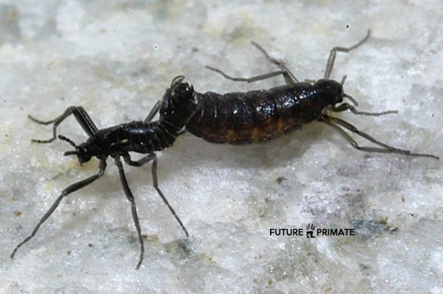smallbuggenome_futureprimate